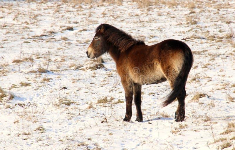 Vildhäst i snöig dansk natur arkivbild