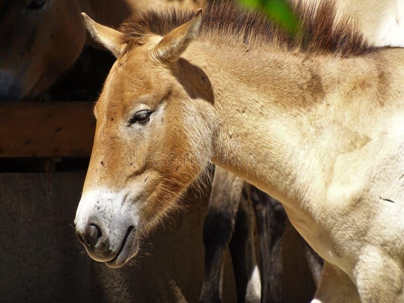 Vildhäst i zoo i Augsburg i Tyskland fotografering för bildbyråer