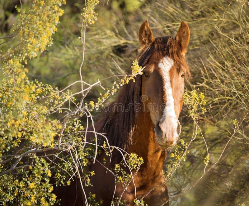 Vildhäst/mustang - stående Salt River, Arizona arkivbilder