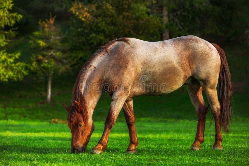 Vildhäst som betar i ängen, Bulgarien, Europa Mystikersoluppgång över berget arkivfoton