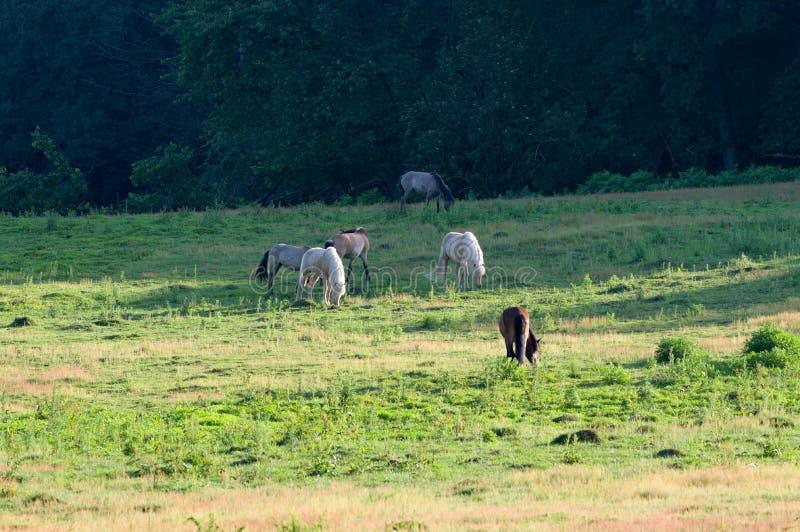 Vildhästar i äng arkivfoton