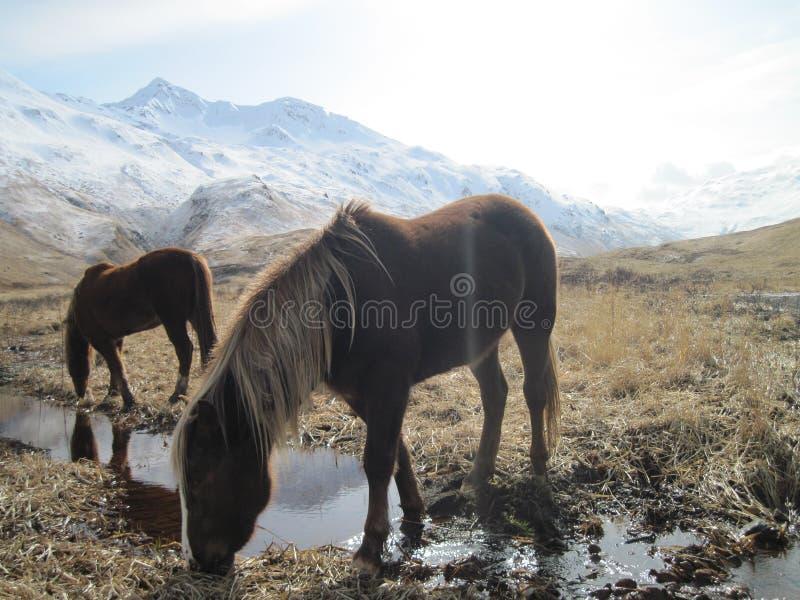 Vildhästar i fält i kodiaken, Alaska arkivfoto