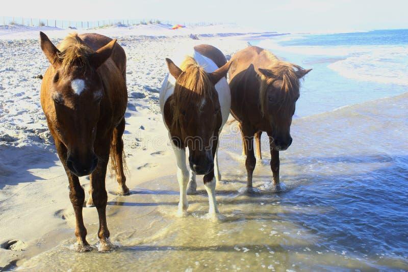 Vildhästar på den Assateague nationalparken, USA royaltyfri bild