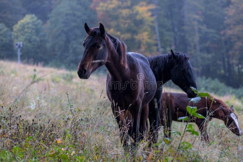 Vildhästar på en äng royaltyfri fotografi