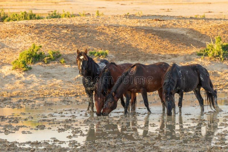 Vildhästar som dricker på en öken Waterhole royaltyfri bild