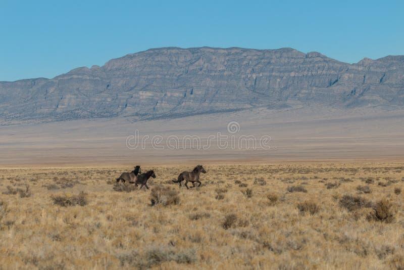 Vildhästar som kör i den Utah öknen royaltyfria bilder