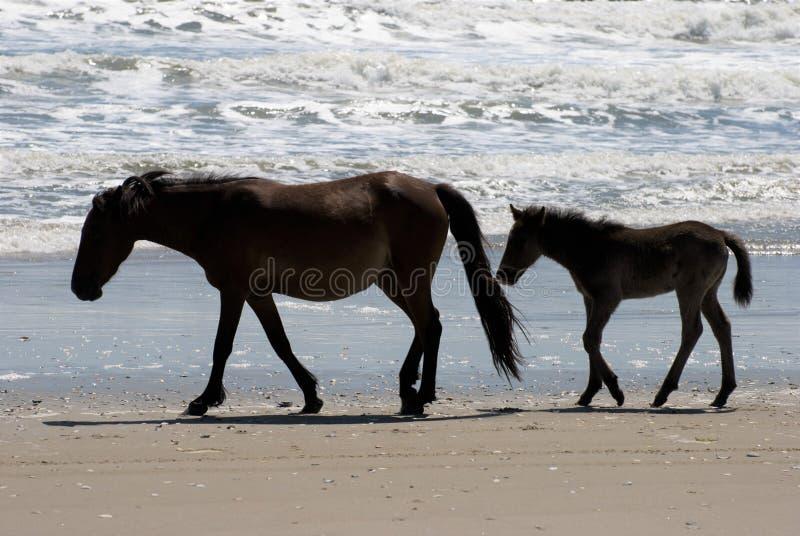 Vildhästar som promenerar stranden i Corolla, North Carolina arkivfoton