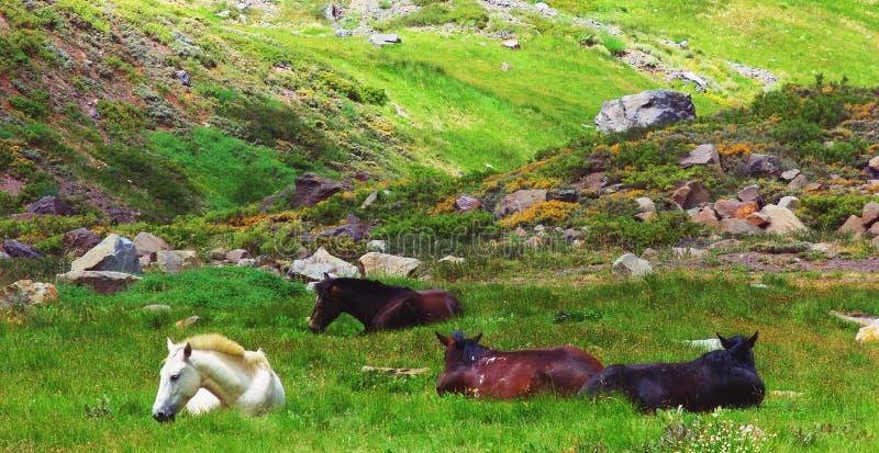 Vildhästar som vilar i ängen royaltyfri fotografi