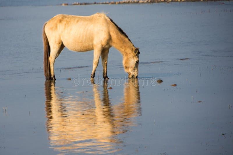 Vildhästdricksvatten på sjökust royaltyfri bild