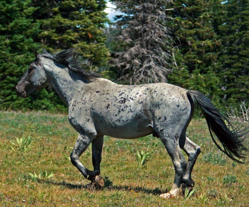 Vildhästmustang Gray Grulla Roan Stud Stallion i den Pryor Mtns MTEN royaltyfria foton