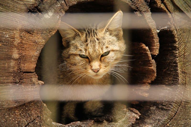 Download Vildkatten arkivfoto. Bild av hår, lurvigt, natur, caged - 78729502