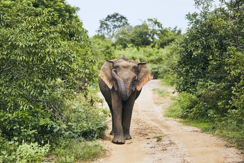 Vildlevande elefant i Sri Lanka royaltyfri bild