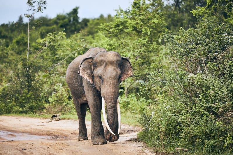 Vildlevande elefant i Sri Lanka royaltyfri fotografi