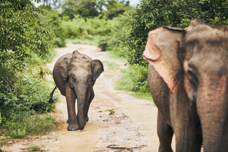 Vildlevande elefanter i Sri Lanka royaltyfri bild
