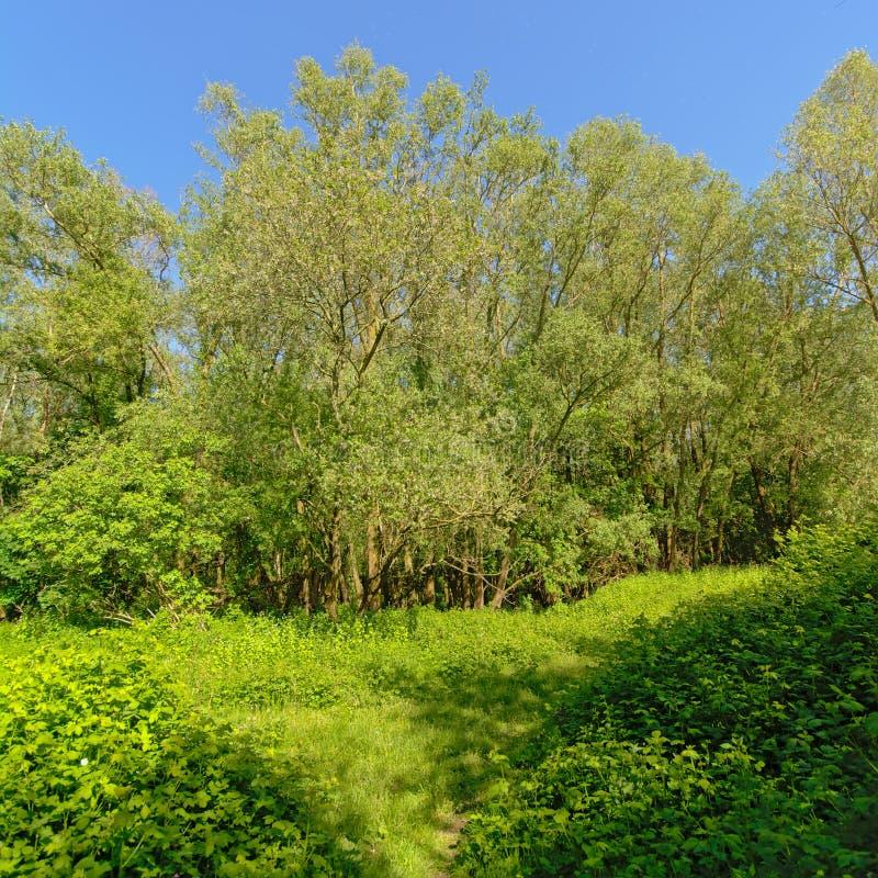 Vildmark med björnbärbuskar och träd i den flemish bygden arkivfoton