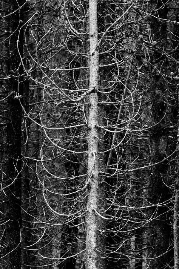 Vildmarkskogen av sörjer trädlemmar och filialer fotografering för bildbyråer