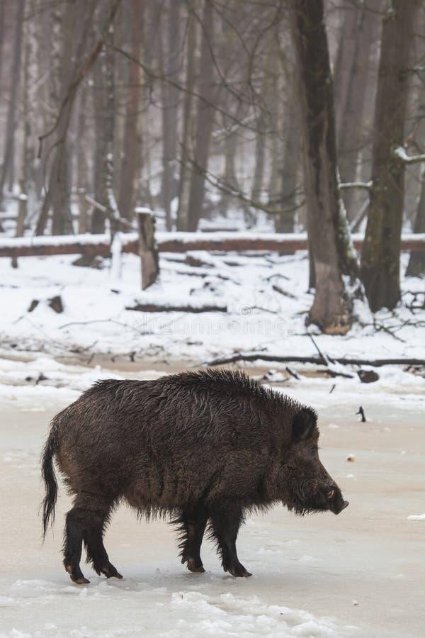 Vildsvin i vinter arkivbilder