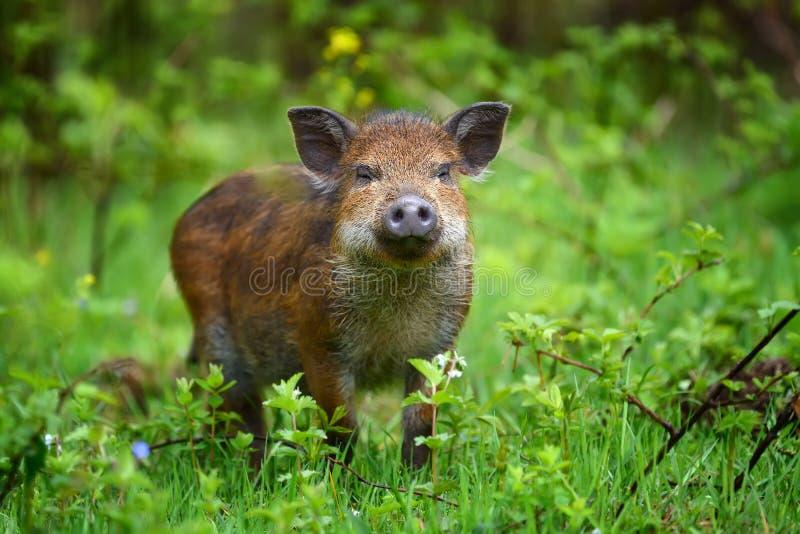 Vildsvin på skogen arkivfoto