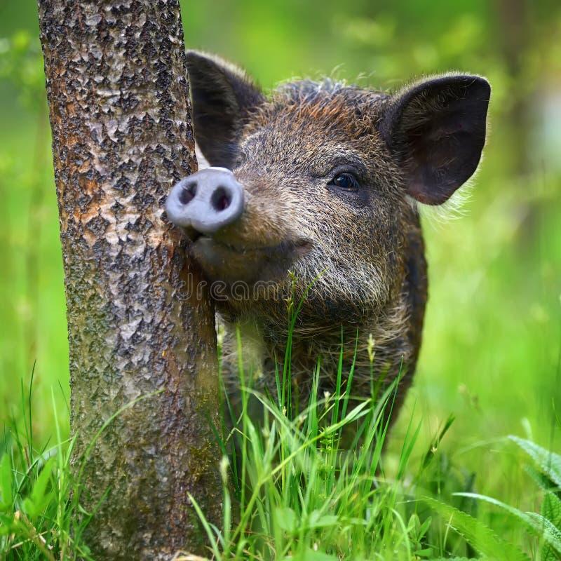 Vildsvin på skogen arkivfoton