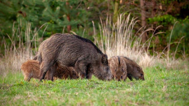 Vildsvinflock av gödsvinet och lite avrivna spädgrisar som matar på gräs i vår arkivbilder