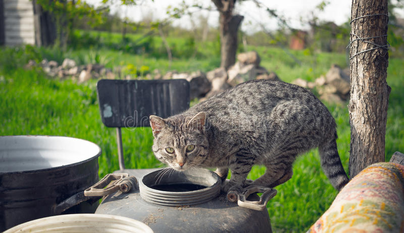 Village cat. Attention and alertness. Cunning rural cat caught at the crime scene. Attentive anxious look of a young healthy animal royalty free stock photography