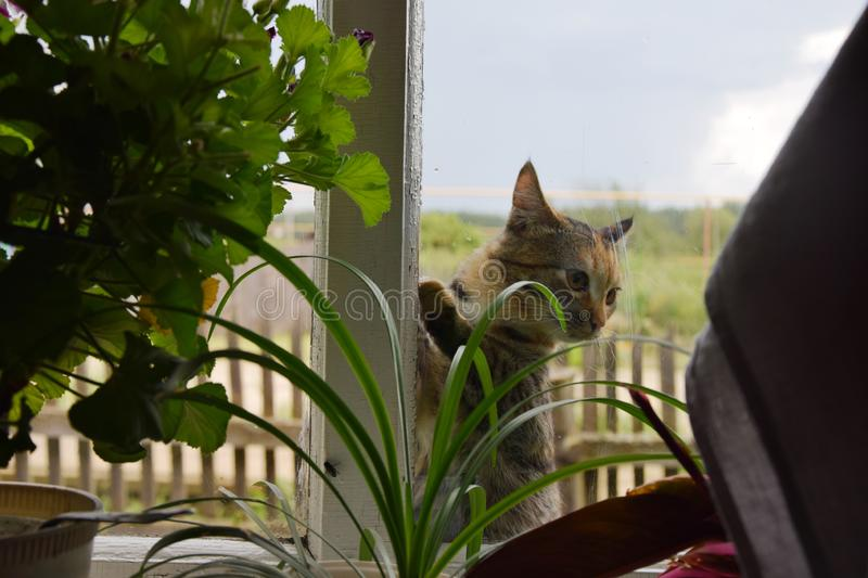 Country cat. The village cat outside the window knocks his paws on the glass and asks for the house stock image