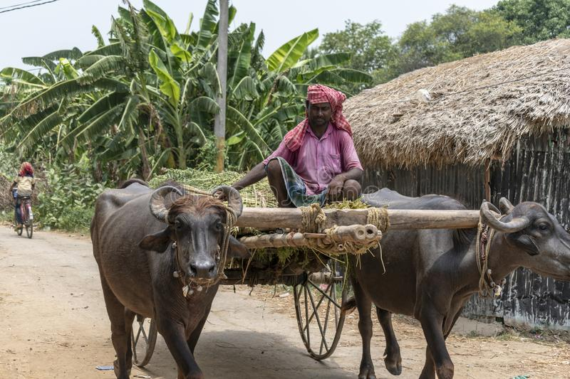 A village farmer is carrying the crops in a Buffalo-Cart royalty free stock image