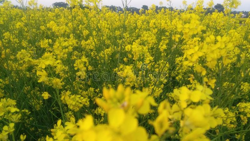 Field of Mustered Flower. Village Field of Mustered royalty free stock image
