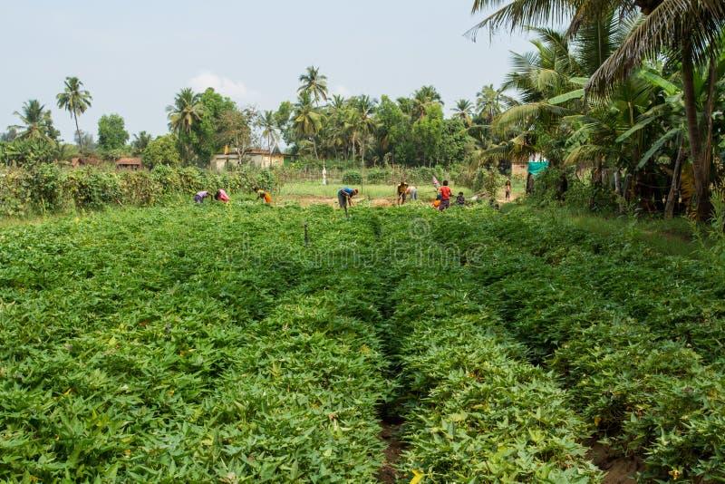 Village indien Champ des patates douces Début de la moisson photographie stock libre de droits