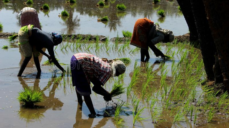 Village women working in a rice field. stock image