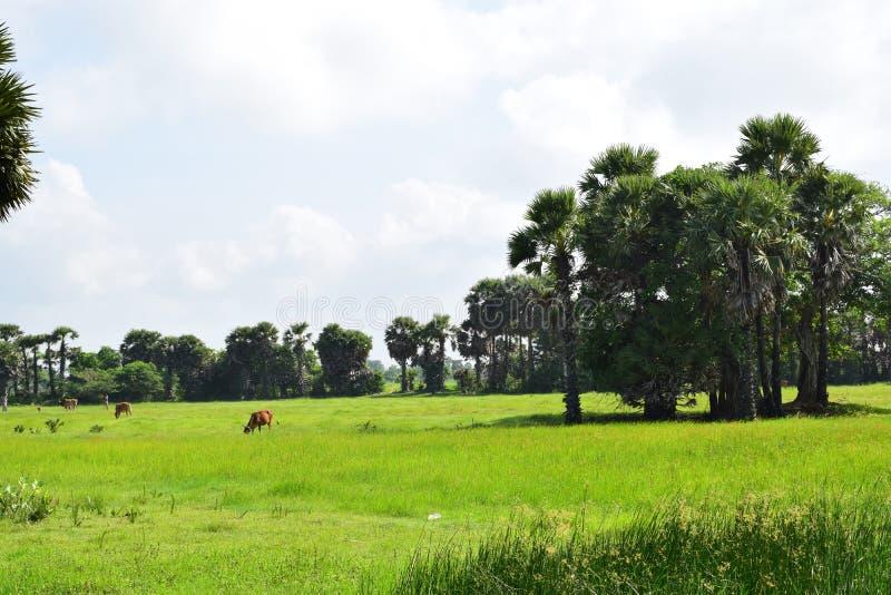 Villaggio che coltiva risaia archivata con le mucche immagini stock