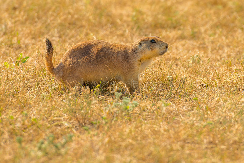 Ville Theodore Roosevelt National Park de chien de Praire images stock
