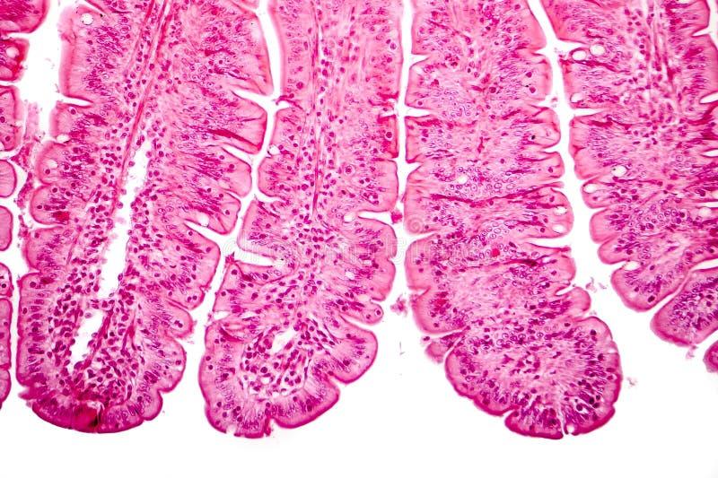 Villi av den lilla inälvan, ljus micrograph royaltyfria foton