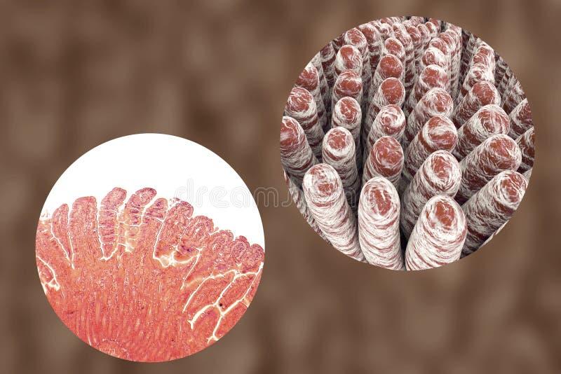 Villi dell'intestino tenue illustrazione di stock