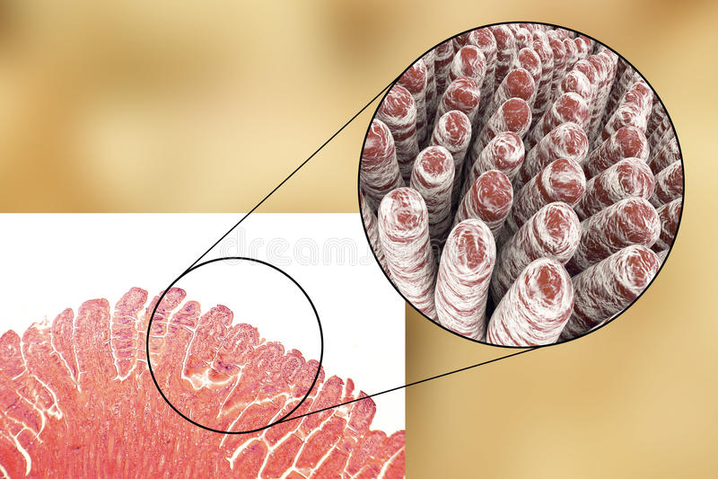 Villus d'intestin grêle illustration stock