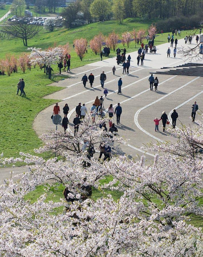 VILNIUS, LITAUEN - 29. April 2016: Panoramablick des Stadtzentrums auf Blütenzeit in Vilnius, Litauen Populäres Kirschblüte sak lizenzfreie stockbilder