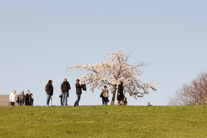 Vilnius, Lithuania - 04 22 2019: People taking pictures and enjoying blooming sakura trees at Sugihara park royalty free stock photography