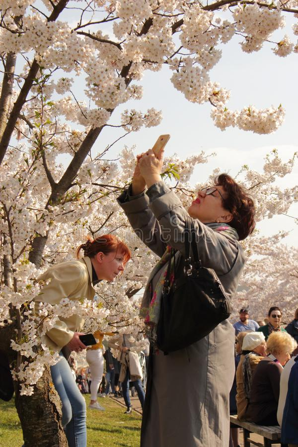 Vilnius, Lithuania - 04 22 2019: Woman taking picture of sakura flowers stock images