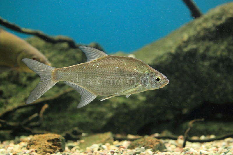 Vimba bream stock photography