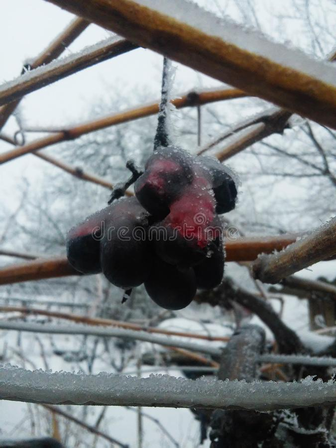 Vin de glace Raisins de vin rouge pour le vin de glace en état et neige d'hiver Raisins congelés couverts par la glace blanche de image libre de droits
