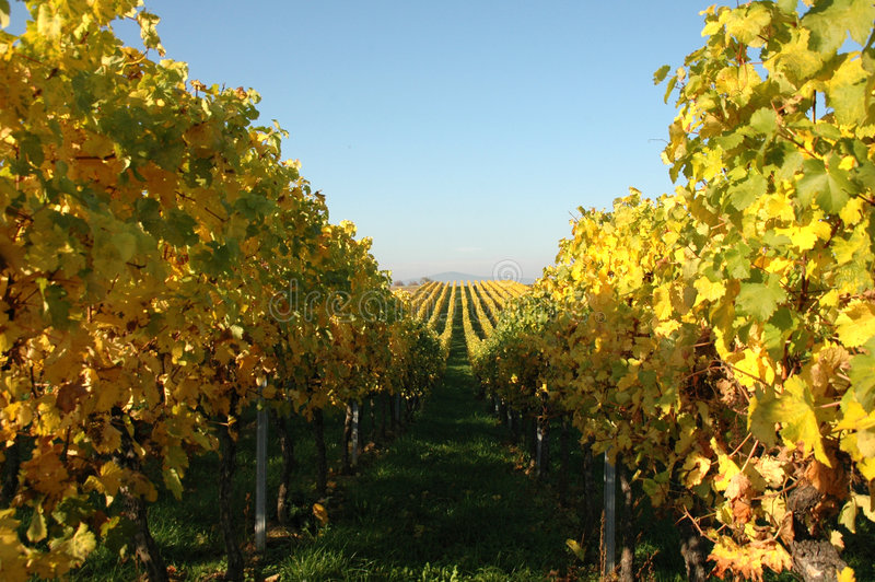 Vin en automne image stock