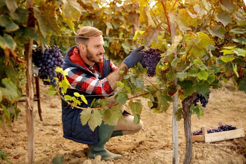 Vinaio del lavoratore del raccolto dell'uva sulla vigna immagine stock
