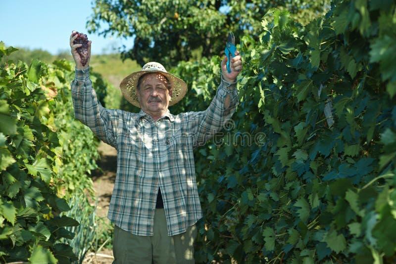 Vinaio senior che lavora nella serra di viti immagine stock
