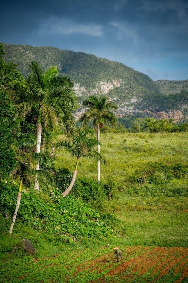 Vinales, Cuba Agriculture de tabac photo libre de droits