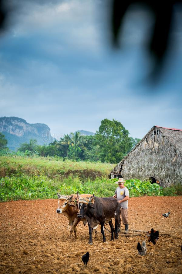 Vinales, Cuba - 2 d?cembre 2017 : Agriculteur labourant un champ de tabac image stock