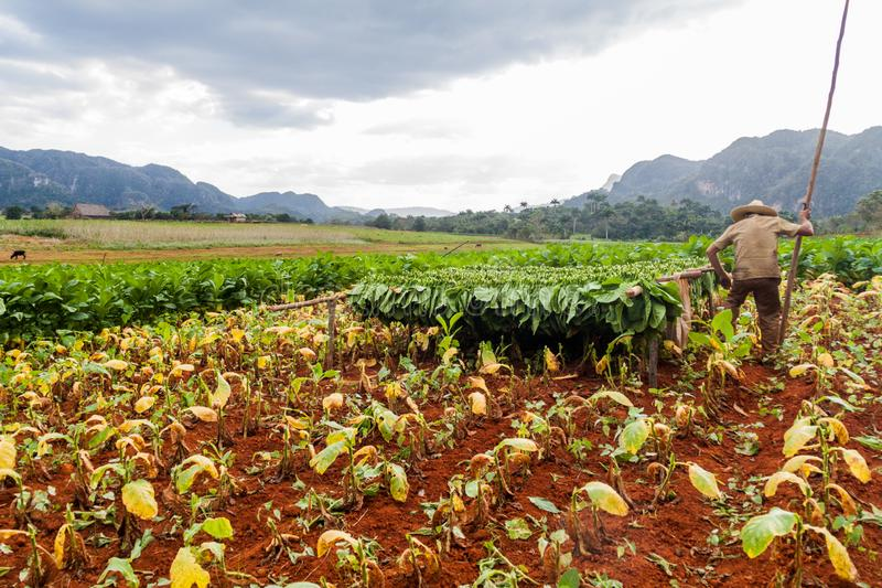 VINALES, CUBA - 19 DE FEVEREIRO DE 2016: Fazendeiro do cigarro que trabalha em seu campo no vale perto de Vinales, Cub de Guasasa imagens de stock