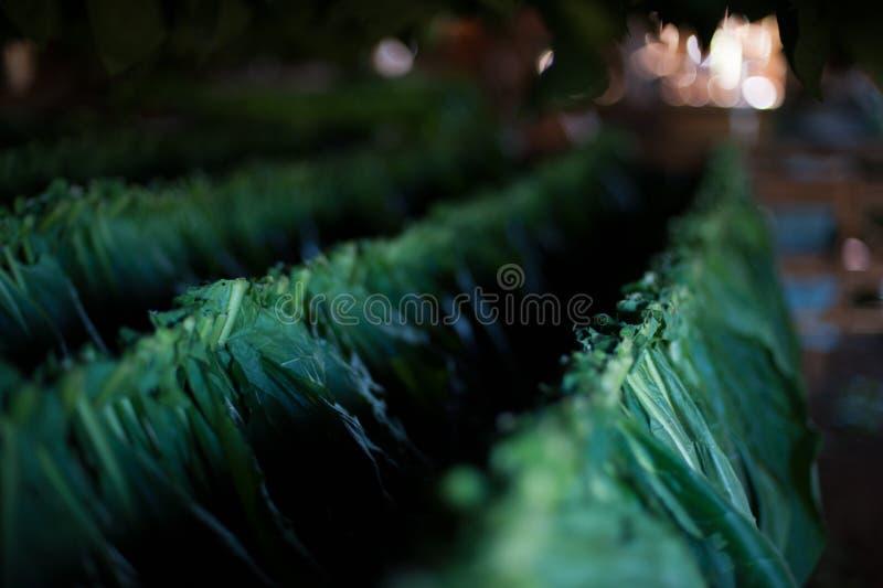 Vinales dal, Kubasolinställning på uttorkningtobak arkivfoton