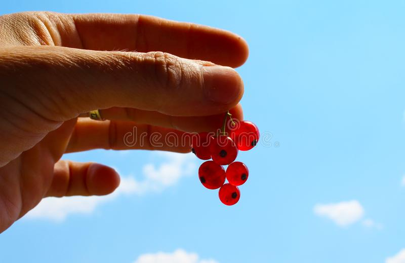 Vinbär eller redcurrant för Ribesrubrum gemensamt röd i handen med blå himmel i bakgrund arkivbild