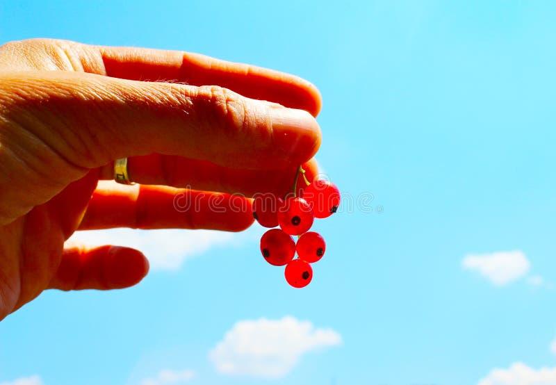 Vinbär eller redcurrant för Ribesrubrum gemensamt röd i handen med blå himmel i bakgrund royaltyfria foton