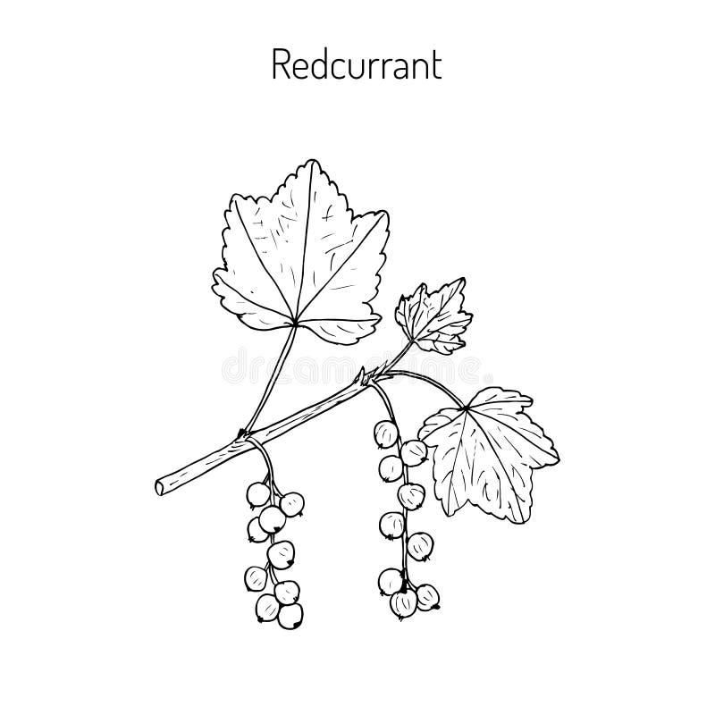 vinbär isolerad röd white stock illustrationer